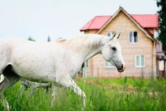 White horse. White arab horse trotting on field Royalty Free Stock Photography