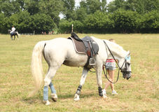 White horse. White running horse with a saddle.  Race track Royalty Free Stock Images