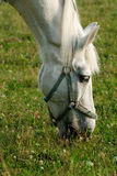 White horse. Is eating grass in a pen Royalty Free Stock Photo