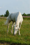 White horse. Is eating grass in a pen Stock Photography