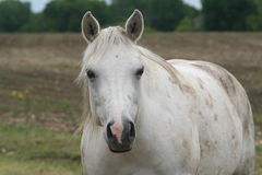 White horse. Portrait of white horse in countryside Royalty Free Stock Photo