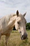 White Horse. Vertical closeup image of a white mare in a field Royalty Free Stock Images