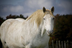 White horse. A picture of a white horse on a farm Royalty Free Stock Image