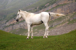 White horse. At the top of the hill royalty free stock photography