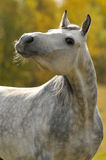 White horse. White arabian stallion in autumn Royalty Free Stock Image