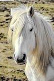 White horse portrait - white mane royalty free stock image