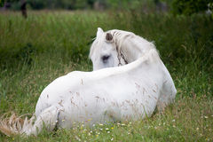 White horse. Beautiful white horse laying in the grass Stock Images