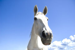 White horse. Royalty Free Stock Image