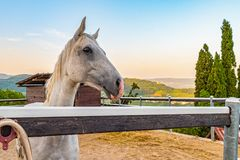 White horse in its enclosure royalty free stock photos