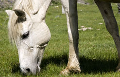 The  white horse . A portrait of a white horse Stock Photos