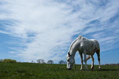 White horse. White horse eating green grass on the meadow, with sky and clouds Stock Photography