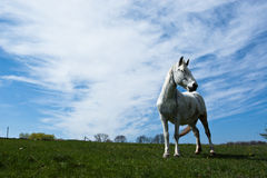 White horse. White horse eating green grass on the meadow, with sky and clouds Stock Photos