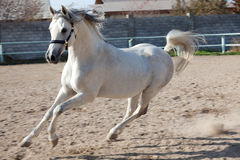 The white horse Stock Photography