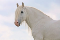 White horse. White percheron horse on blue sky Royalty Free Stock Photo