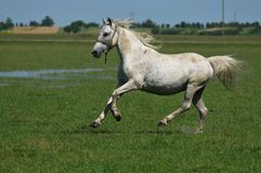 White horse. Galloping across a meadow Royalty Free Stock Images