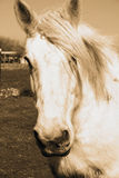 White Horse. A beautiful white gypsy feathered horse with great details royalty free stock photos