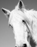 White Horse. A beautiful white gypsy feathered horse with great details royalty free stock images