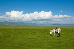 White horse. Sky,cloud,plain and white horse at gansu qinghai-tibet plateau china Stock Photos