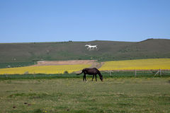 The white Horse Stock Photo