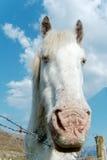 White horse. At Irish farm Royalty Free Stock Photo