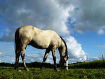 White horse 2. White horse on its pasture ground Stock Photography