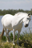 White horse. A white horse on the shore of a lake Royalty Free Stock Image