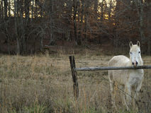 White Horse. Standing at a fence Stock Photos