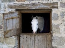 White Horse. A white horse peeks out of a barn door stock photo