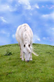 White Horse. A white horse grazing on a breezy spring day Royalty Free Stock Photos