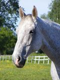 White horse. Beautiful white horse portrait at the pasture Stock Images