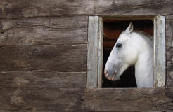 White horse. In the stable Stock Images