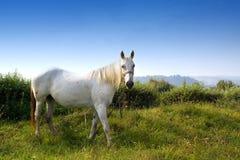 White horse. Eating grass stock photos