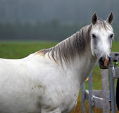 White Horse. Portrait of a white horse, taken sideways Stock Image