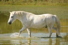 Free White Horse Stock Photos - 3281543