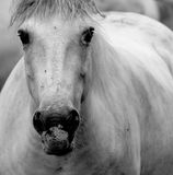 White Horse. Huge White horses in pasture royalty free stock photo