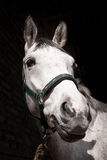 White horse. Closeup of the horse's head Royalty Free Stock Photography