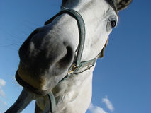 White horse 4. Close up of a horse head Royalty Free Stock Image