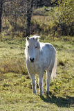White Horse. A white horse, looking at the camera Royalty Free Stock Images
