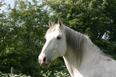 White horse. Horse head looking at me royalty free stock images