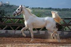 White horse. Running Stock Photos