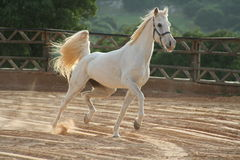 Free White Horse Stock Images - 4265254