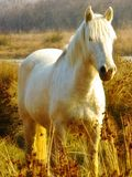 White horse. A photo realistic picture showing a white horse in the bushes royalty free stock photos
