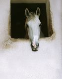 White horse. Portrait of white lonely horse Stock Images