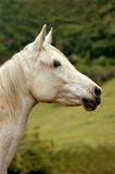 Horse white Stock Photography