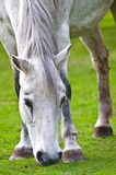 White horse. In a green field Royalty Free Stock Images