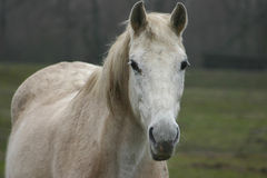 White horse. Grey white horse stock photos