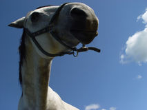 White horse 5. Closeup of a white horse in front of blue sky Stock Photography