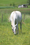 White horse. Beautiful horse in the grass field Royalty Free Stock Image
