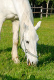 A white horse. Is eating grass in a pen Stock Photo