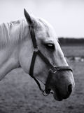 White Horse. Portrait of a white horse Royalty Free Stock Photos